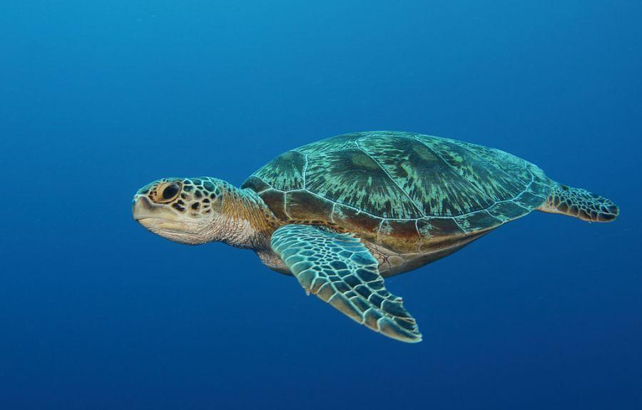 Koror Island Palau T8AM Turtle.