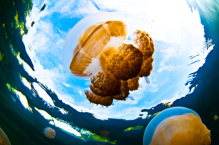 Palau T88TJ Jelly Fish