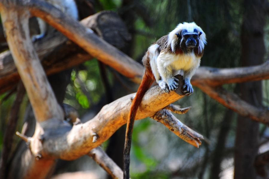 Panama HP3/WJ2O Cotton-top Tamarin Families.