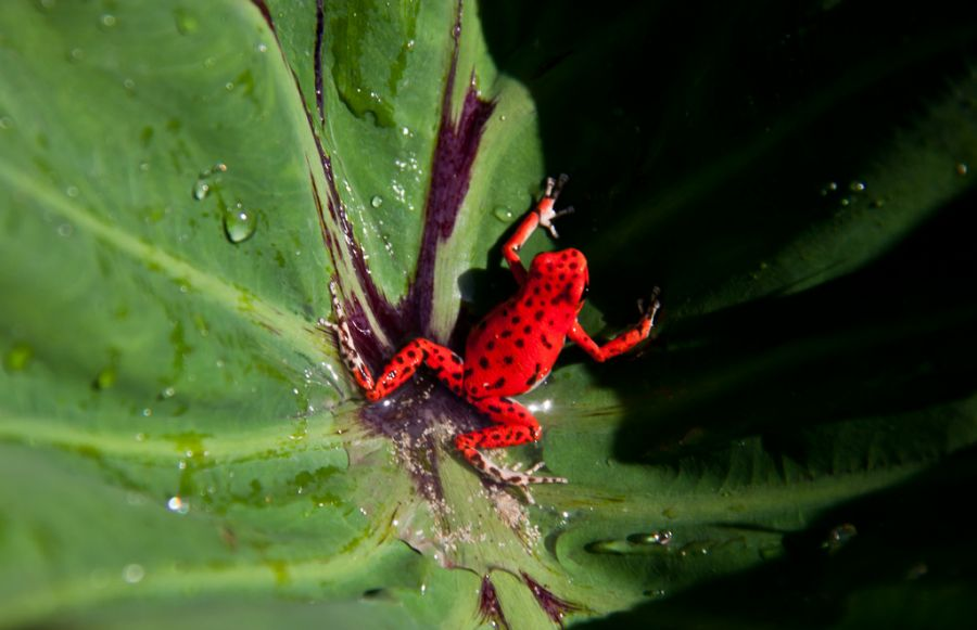 Panama HP3/VY2SS Tourist attractions spot Strawberry Poison Dart Frog.