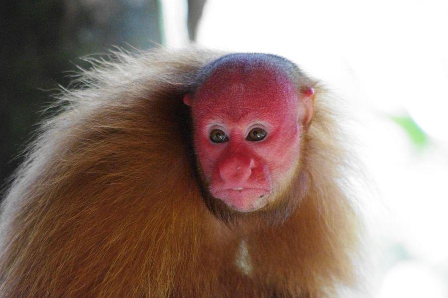 Peru 4T4T Tourist attraction spot Uakari - Cacajao monkey, Iquitos.