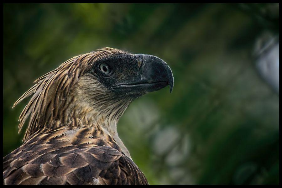 Филиппины DU1WQY DX Новости Филиппинский орел (Pithecophaga jefferyi), поедатель обезьян.