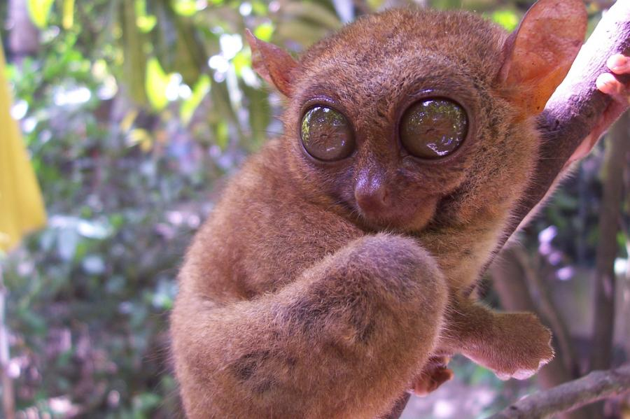 Philippines DX2R Tarsier Picture Photo