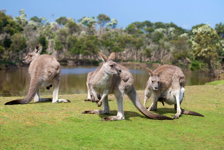 Phillip Island VK2IAY/3 Group of kangaroos.