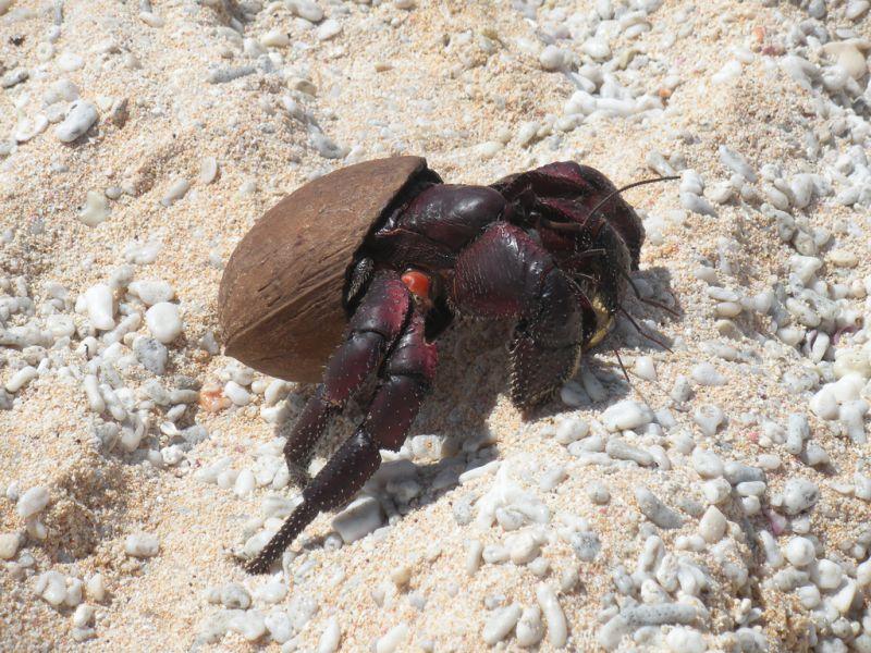 Pitcairn Island VP6AH Hermit crab