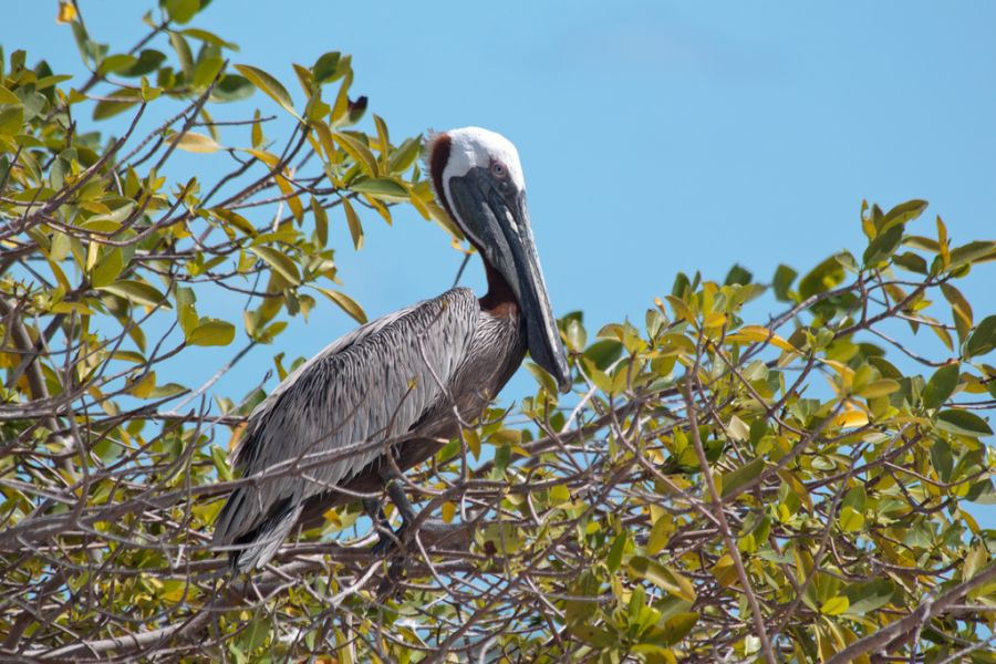 Providenciales Island Turks and Caicos Islands VP5M VP5/K4QPL DX News Brown Pelican resting, Princess Alexandra Land and Sea National Park.