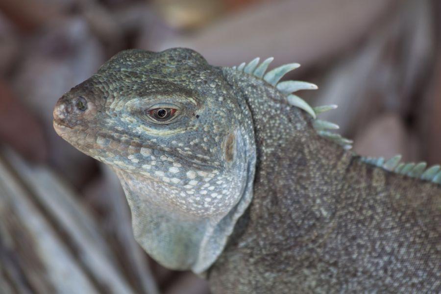 Providenciales Island Turks and Caicos Islands VQ5E DX News Rock Iguana.