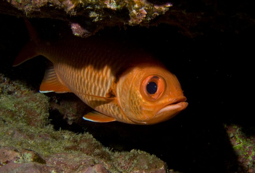 Rarotonga Island E51ADT Cook Islands Big-eye Squirrel Fish.