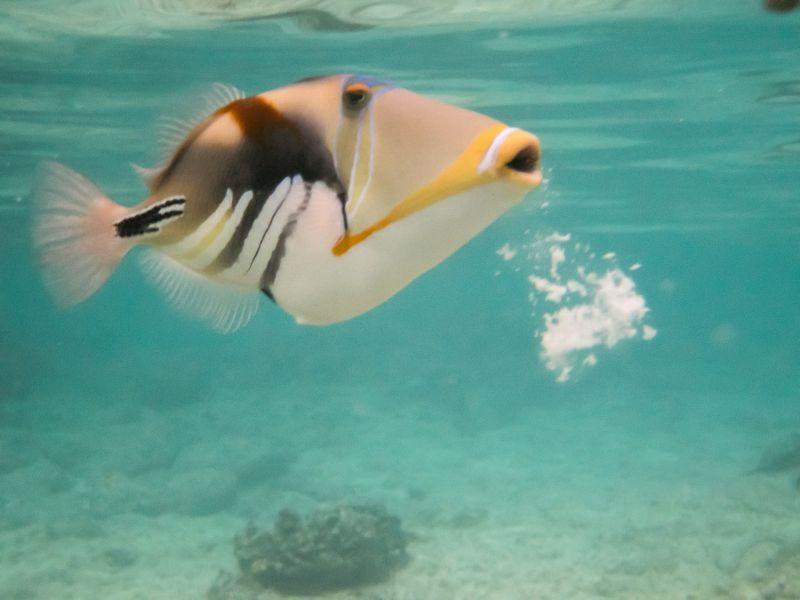 Rarotonga Island E51XYZ DX News Picasso Triggerfish.