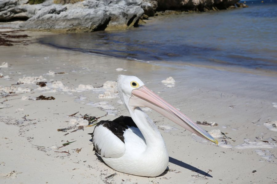 Остров Роттнест VK6/G0KIK/P Австралийский пеликан.