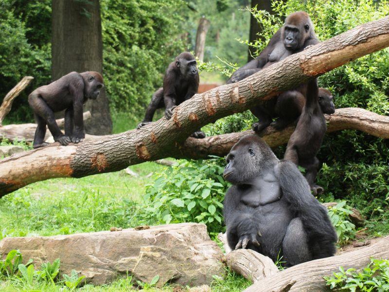 Руанда 9X0NH Туристические достопримечательности Гориллы