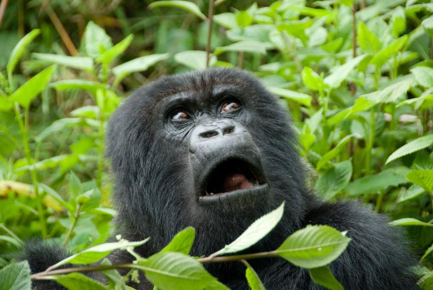 Руанда 9X0VA Горная горилла
