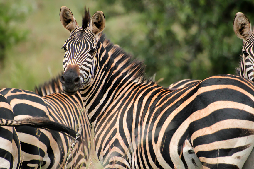 Руанда 9X0VA Туристические достопримечательности Зебра
