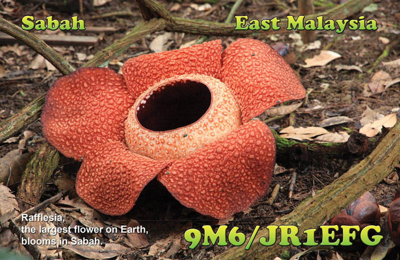 Sabah Borneo Island 9M6/JR1EFG Rafflesia, the largest flower on Earth.
