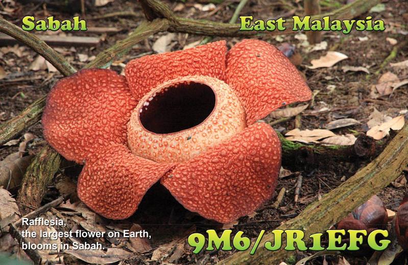 Sabah Borneo Island 9M6/JR1EFG Rafflesia, the largest flower on Earth.
