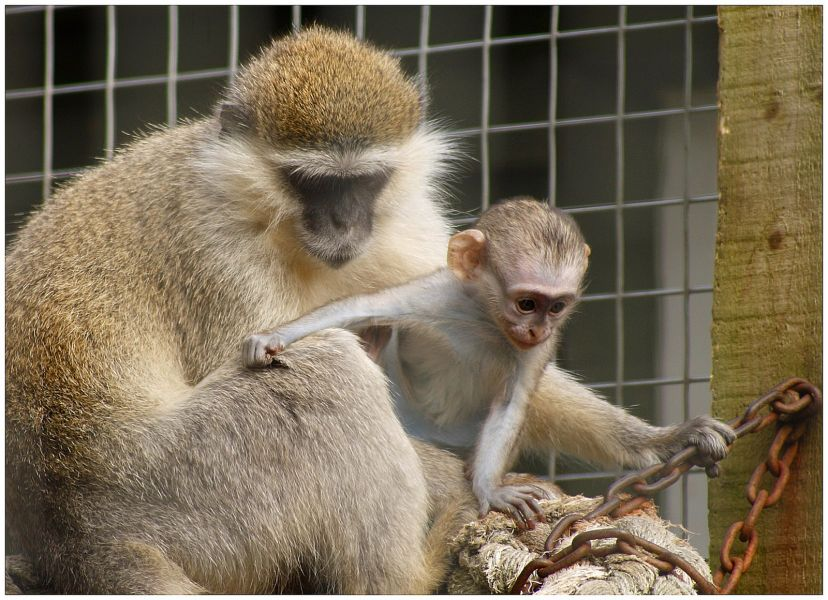 Saint Kitts Island V4/KB1EHE DX News Vervet Monkeys.