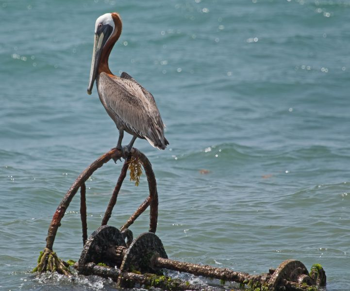Saint Kitts Island V4/KB1EHE Tourist attractions spot Pelican on wheel.