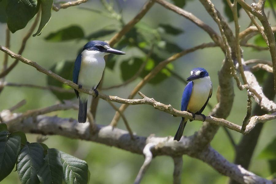 Samoa 5W0JHQ DX News Kingfishers.