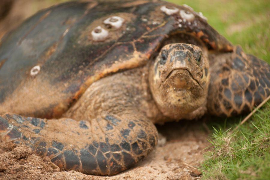 Sao Tome and Principe S9TM DX News Turtle from Principe Island.