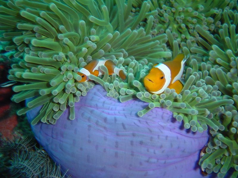 Satang Islands 9M8RC Tourist attractions spot Anemone and Clown fish.