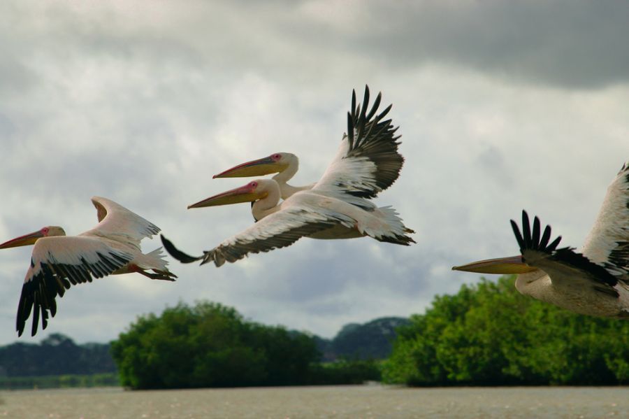 Senegal 6V7A Picture of pelicans.