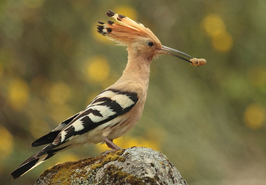 Senegal 6W1RY Tourist attractions spot Eurasian or Central African Hoopoe.