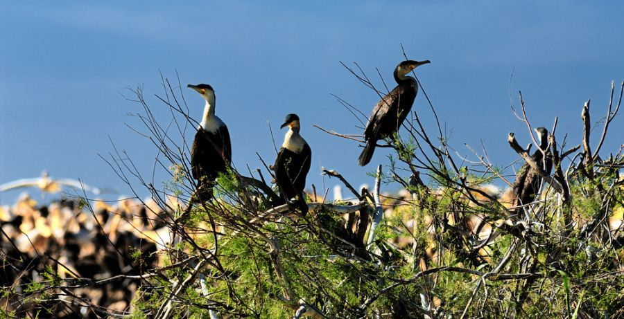 Senegal 6W7/F6HMJ Tourist attractions spot Great Cormorants.