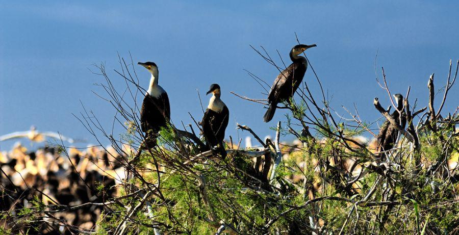 Senegal 6W7/F6HMJ Tourist attractions spot Great Cormorants.
