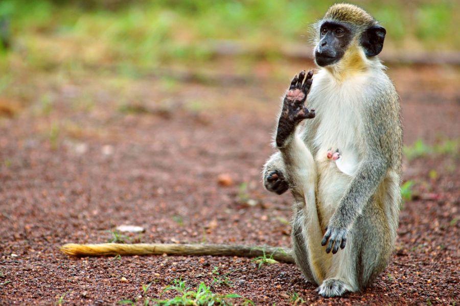 Сенегал 6W/EA1HFI Туристические достопримечательности Зеленая обезьяна.