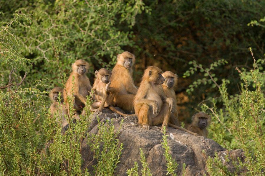 Senegal 6W1/WA3DX 6W7/WA3DX 6W6/WA3DX DX News Baboon family group in Niokolo Koba National Park.