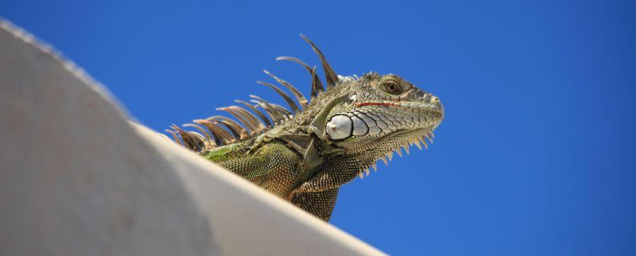 Sint Maarten FS/W5LAC PJ7/W5LAC Tourist attractions spot Iguana.