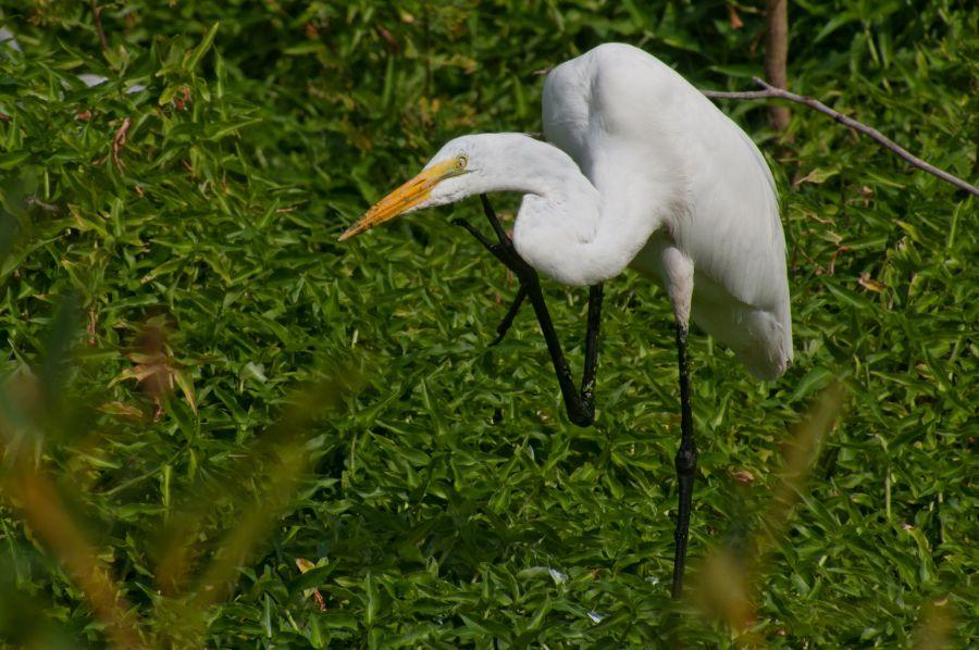 Sint Maarten PJ7BH Tourist attractions spot Great Egret.