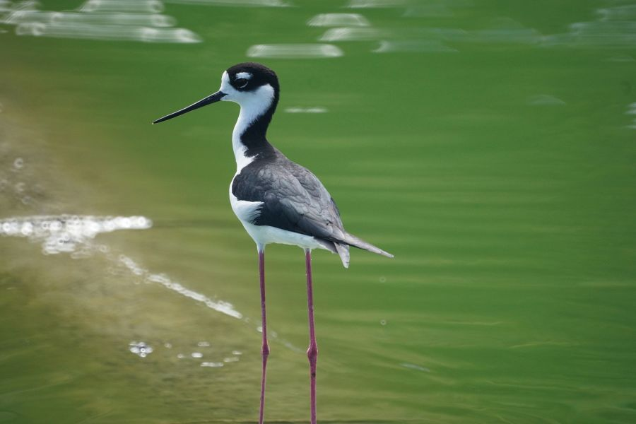 Sint Maarten PJ7BH Black Necked Stilt.