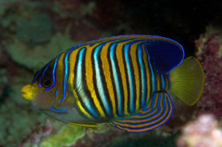 Solomon Islands H44COW Tourist attractions spot Regal Angelfish.