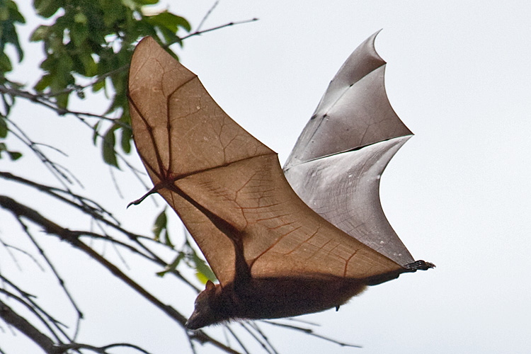 Solomon Islands H44GC H40GC Tourist attractions spot Flying-fox.
