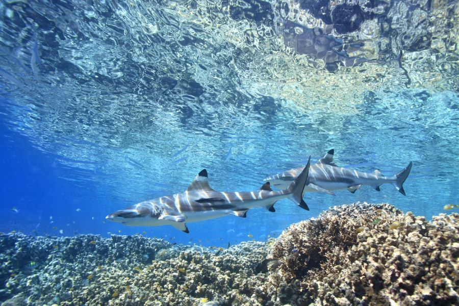 Solomon Islands H44GC H40GC Two Blacktip Reef Sharks.
