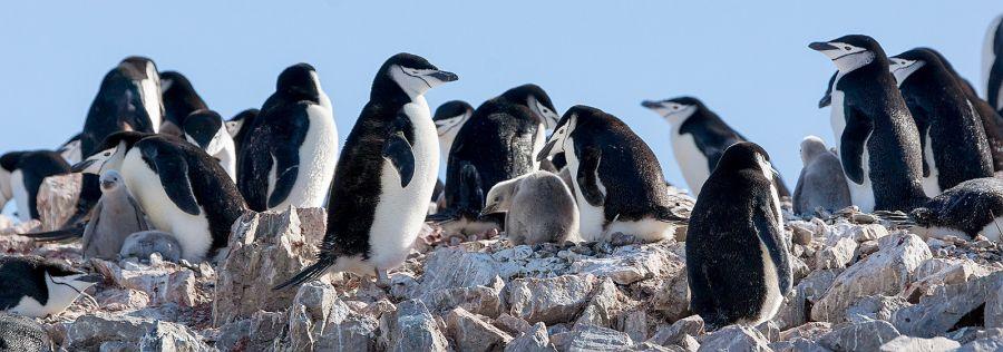 Южно Шетландские острова LU1ZI Остров Роберт Антарктические пингвины.