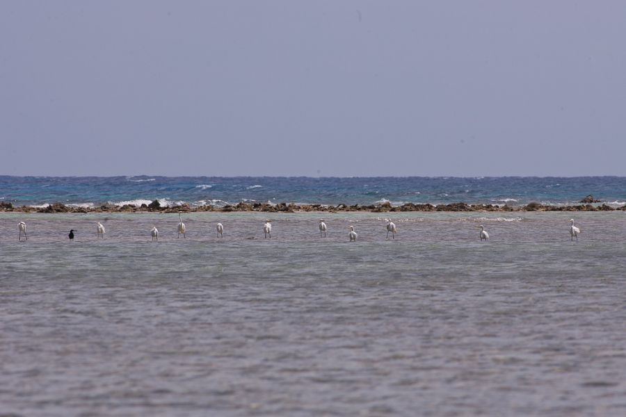 South Water Caye Island V31JZ/P Belize Tourist attractions spot 11 great white egrets.