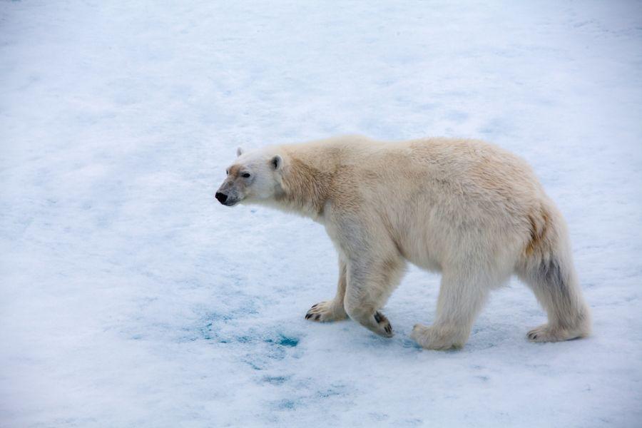 Остров Шпицберген JW3TR DX Новости Белый медведь