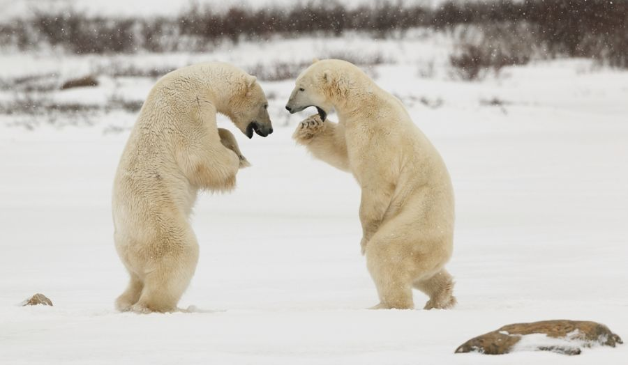 Spitsbergen Island JW3TR Tourist attractions spot Two polar bears play fighting.