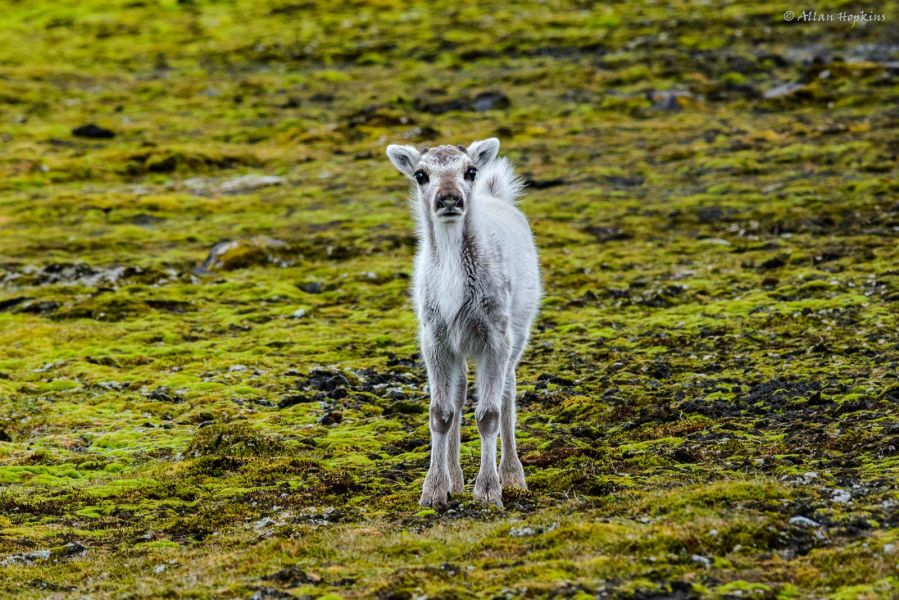 Spitsbergen Island JW7VRA DX News Svalbard Reindeer (Rangifer tarandus platyrhynchus) calf.
