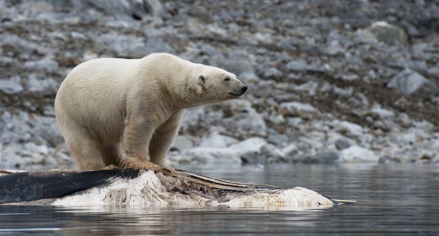 Spitsbergen Island JW7VRA Polar bear