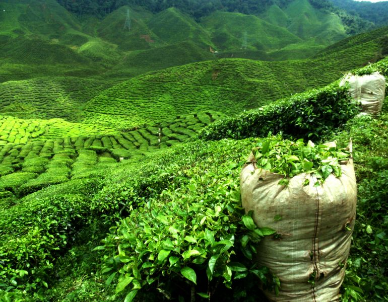 Sri Lanka 4S7JTG 4S7NTG DX News Green tea plantation landscape.