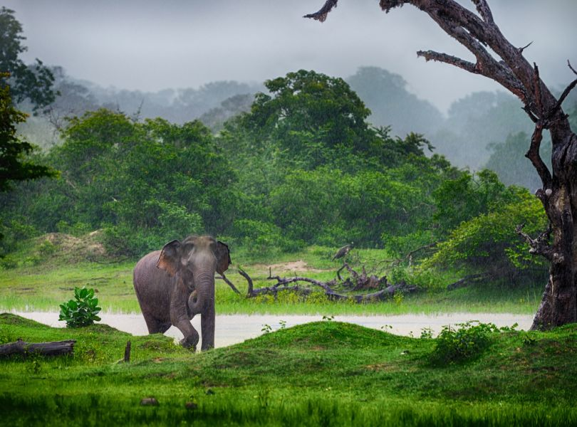 Шри Ланка 4S7JTO 4S7NTS Слон в дикой природе.