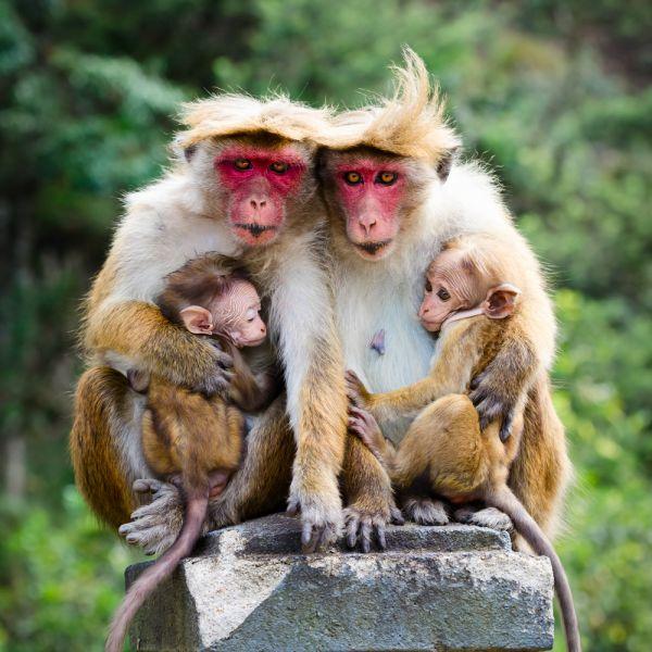 Шри Ланка 4S7SAE Туристические достопримечательности Краснолицые макаки с детенышами.