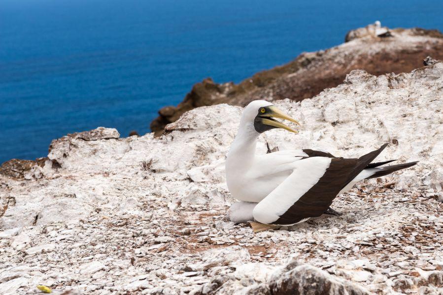 Остров Святой Елены ZD7VDE Туристические достопримечательности Голуболицая олуша.
