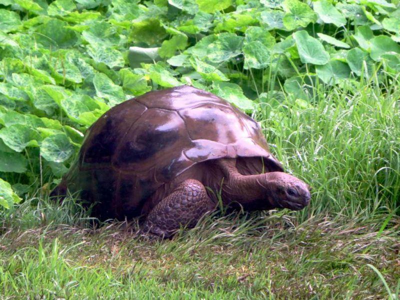 Saint Helena Island ZD7VDE World oldest reptile.