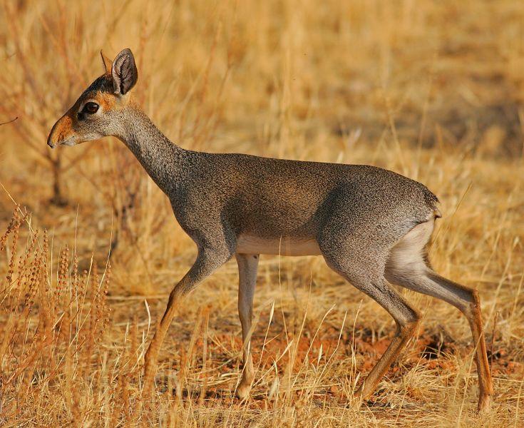 Sudan ST2AC Tourist attractions spot Dik Dik Antilope