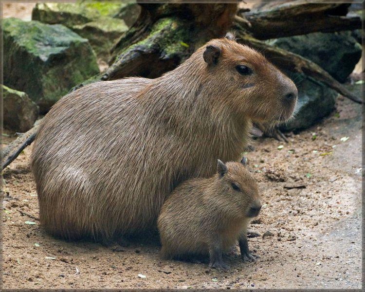 Suriname PZ50X DX News Capybaras.