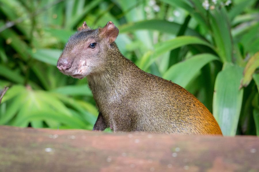 Suriname PZ5V Tourist attractions spot Red Rumped Agouti, Brownsberg.